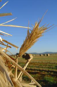 Wheat - stylised